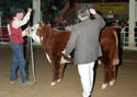 Pick of 2012 Bull Calves - Click to enlarge