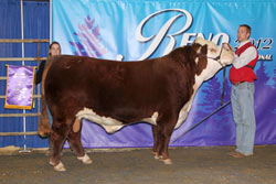 Champion Polled Junior Yearling Bull - Click to enlarge