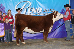 Champion Polled Spring Yearling Female - Click to enlarge