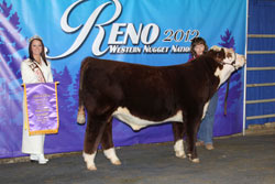 Champion Spring Bull Calf - Click to enlarge