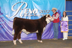 Champion Polled Spring Bull Calf - Click to enlarge