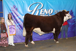 Reserve Champion Junior Yearling Bull - Click to enlarge