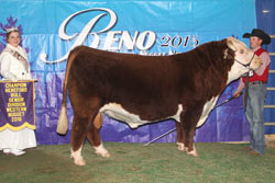 Champion Horned Senior Bull - click to enlarge