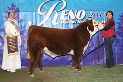 Reserve Champion Polled Junior Bull Calf - click to enlarge