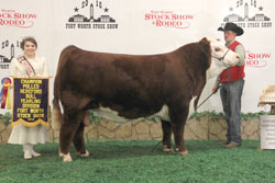 Champion Polled Yearling Bull - Click to enlarge